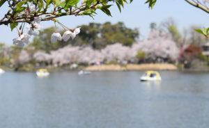 [花に誘われて街あるき] 商店街をめぐりながら、桜の見所へ