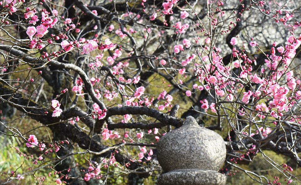 梅の花が見頃の今だから、池上梅園周辺のお寺やお店めぐりで小さな旅気分!