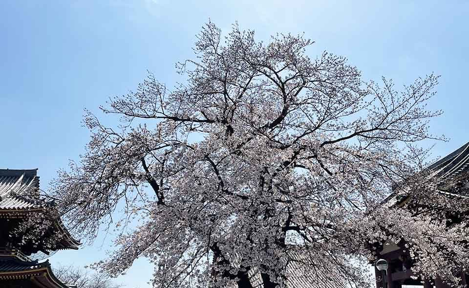見頃は今週末? 令和3年3月23日の桜=池上本門寺