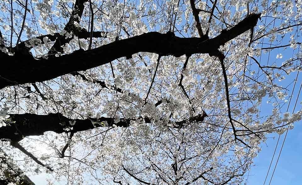 こちらは満開です 令和3年3月24日の桜=馬込桜並木