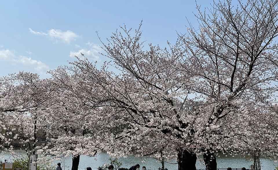 花に嵐。強い風が吹いて、花びらが舞い始めました  令和3年3月26日の桜=洗足池