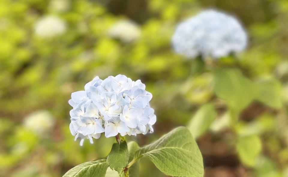 2021年5月、多摩川台公園のアジサイが咲きはじめています